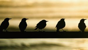 SALTBURN-BY-THE-SEA, ENGLAND - AUGUST 02: Starlings sit on a fence next to the waters edge as the sun rises over the North Sea on August 2, 2016 in Saltburn-By-The-Sea, England. After a sunny start patchy light rain is expected to spread across much of the country through the day. (Photo by Ian Forsyth/Getty Images)
